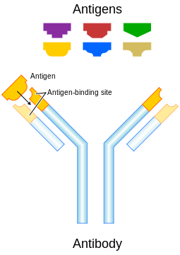 https://upload.wikimedia.org/wikipedia/commons/thumb/2/2d/Antibody.svg/255px-Antibody.svg.png