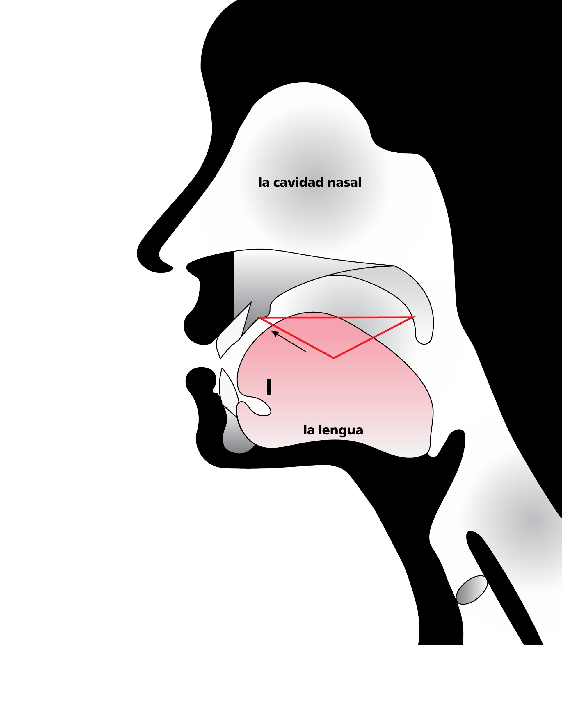 Anatomical sketch of head while speaking, emphasizing space of roof of mouth when tongue fully raised, in Spanish
