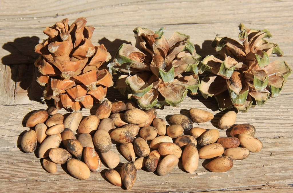 Three pinyon cones next to a handful of pine nuts