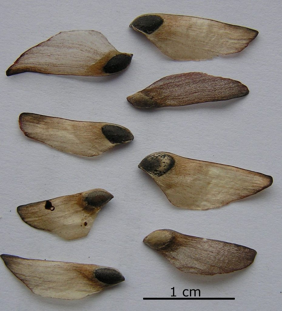 Pine seeds laid out to show their wings