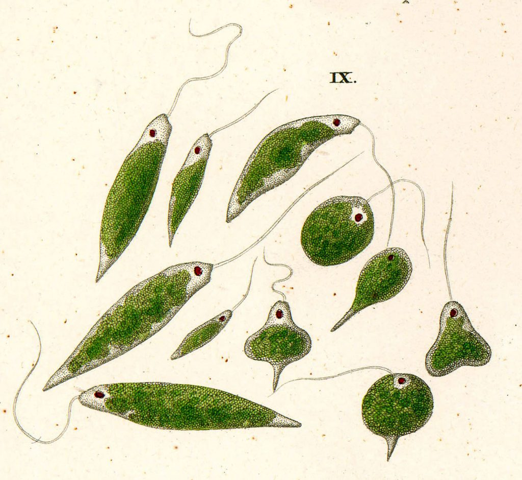 drawing of different shapes and sizes of euglenia unicellular organisms