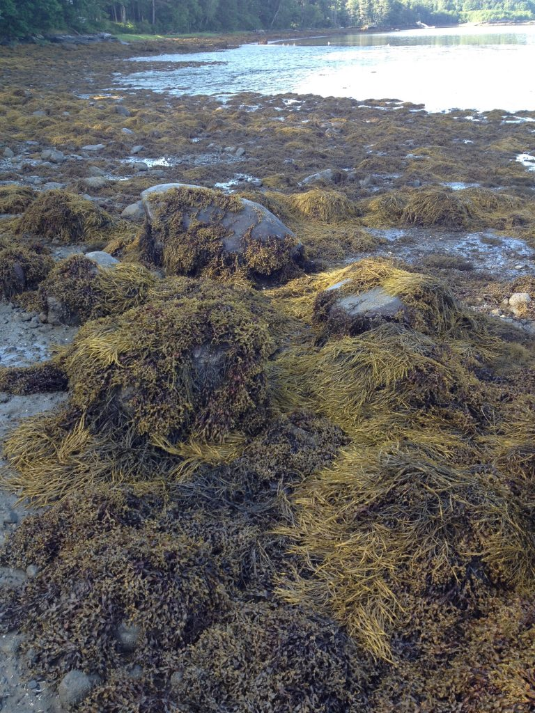 seaweed along the shore of the ocean