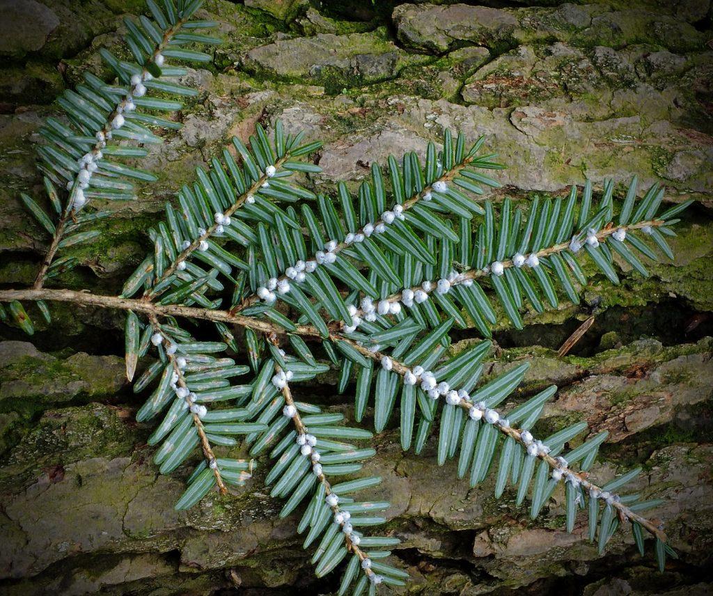 Hemlock woolly adelgid (Adelges tsugae)