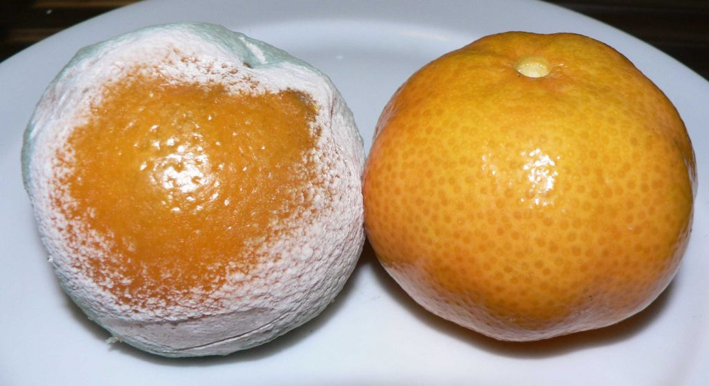two tangerines, one covered with white and green mold