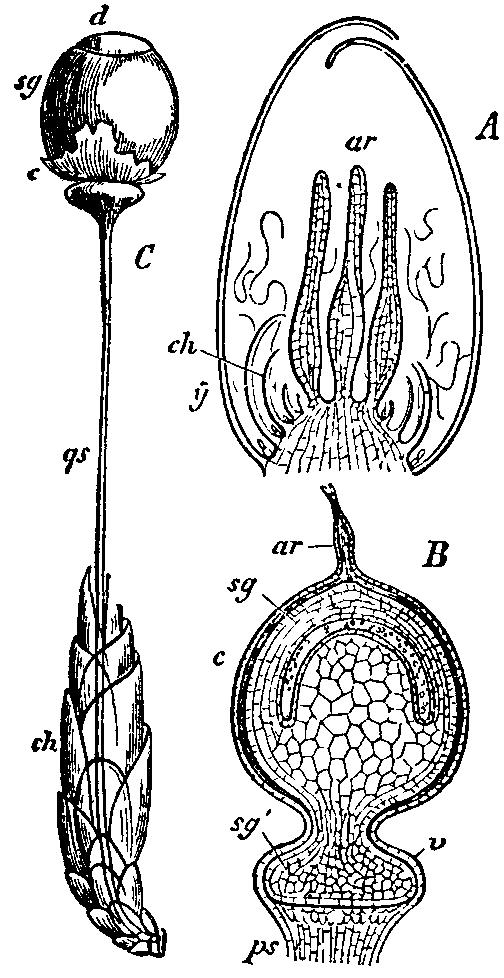 A diagram of Sphagnum sporophyte development