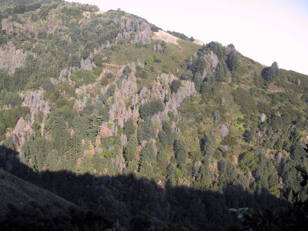 a photo of a hillside covered in trees, showing stripes of dead trees diagonal down the hill