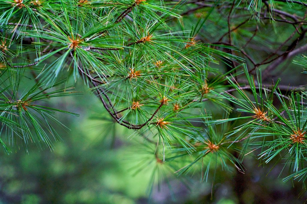 the end of a pine branch, showing long needles extending out of the branch ends