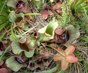 A plant of Sarracenia Purpurea grows in the grass, it has several green flower heads with purple veins