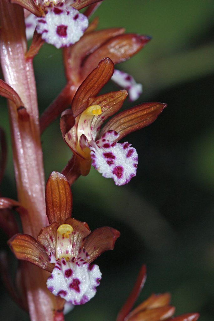 Close up of a Corralorhiza blossom
