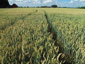 A large field of wheat; there are paths where the wheat has not been planted, in the background there is a house