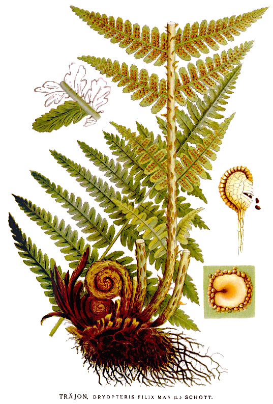 Illustration of a fern showing details of the spores