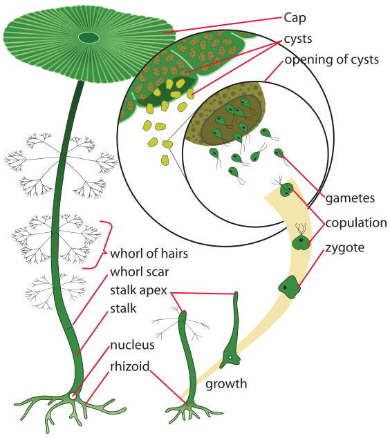 Labeled drawing of the parts of acetabularia and stages of reproduction. Parts from top to bottom: cap, cysts, whorl of haris, whorl scar, stalk, nucleus, rhizoid. Reproduction & growth: rhizoid, growth, stalk apex, zygote, copulation, gametes, opening of cysts .