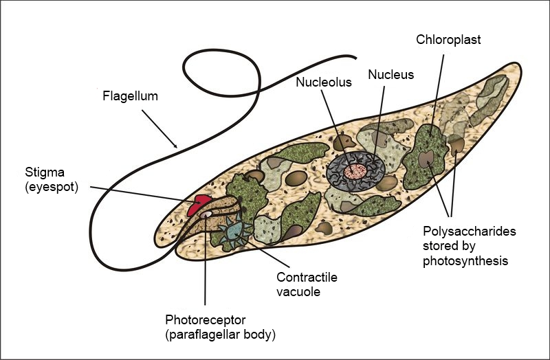 Diagram of a euglena showing the parts of the cell: Stigma (eyespot), flagellum, Photoreceptor (paraflagellar body), Nuleolus, Nucleus, Chloroplast, and Polysaccharides stored by photosynthesis.