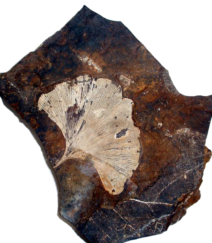 the image of a fossilized ginkgo leaf