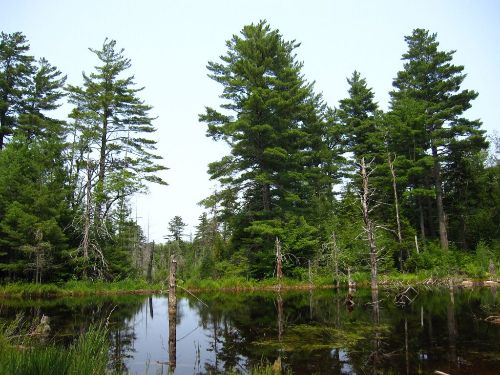 a pond with dead trees emerging out of the water and pines on the shore