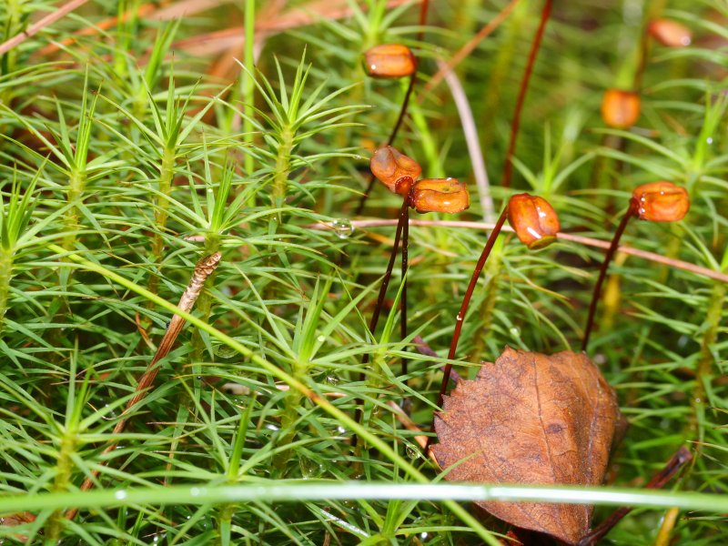 close up of the stems and pointed leaves of the haircap moss and the capsule that releases spores.