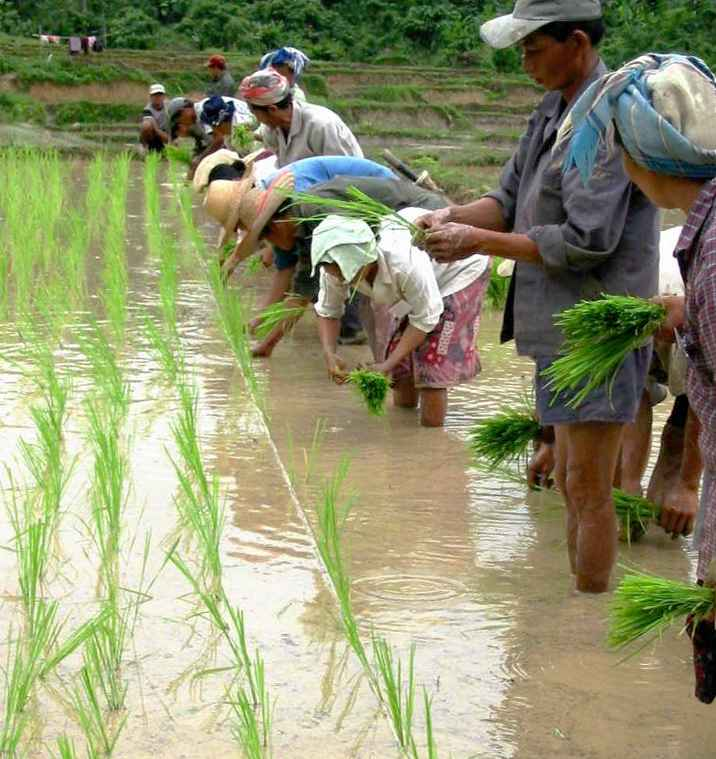 workers in a rice paddy are planting