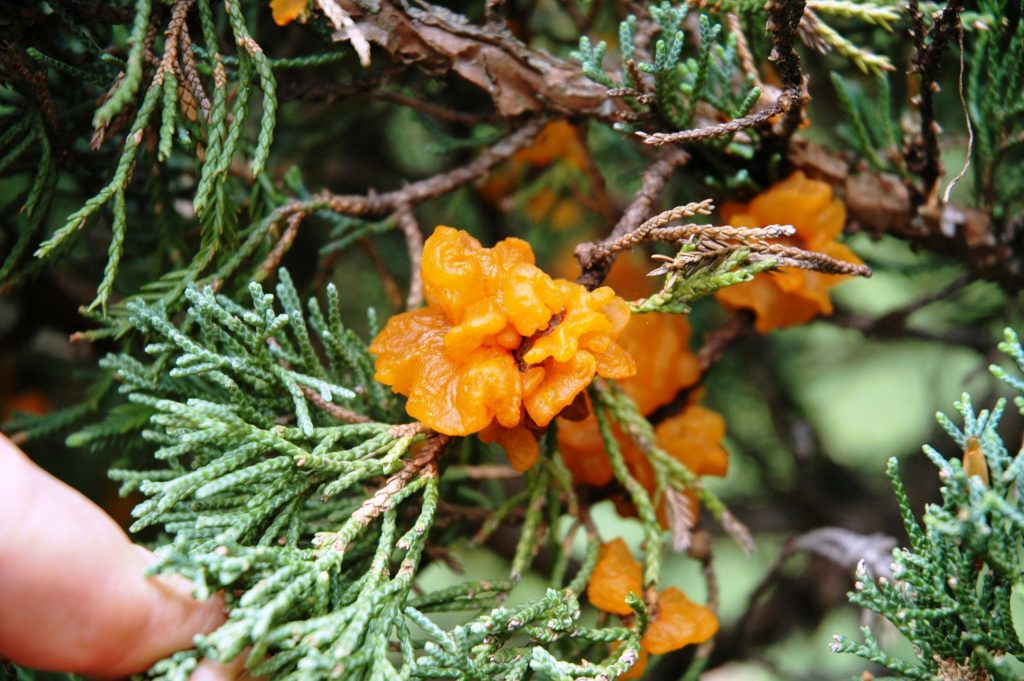 close up of apple rust, which looks almost flowery, on a cedar twig