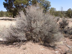 This common big sagebrush has multiple, gray stems arising from ground level in a compact, rounded growth form