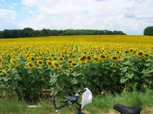 A photo of a large field of sunflowers with a bike parked in front of them