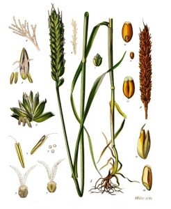 An illustration of the different parts of wheat, seeds, the shoot, roots, and others in different states of development