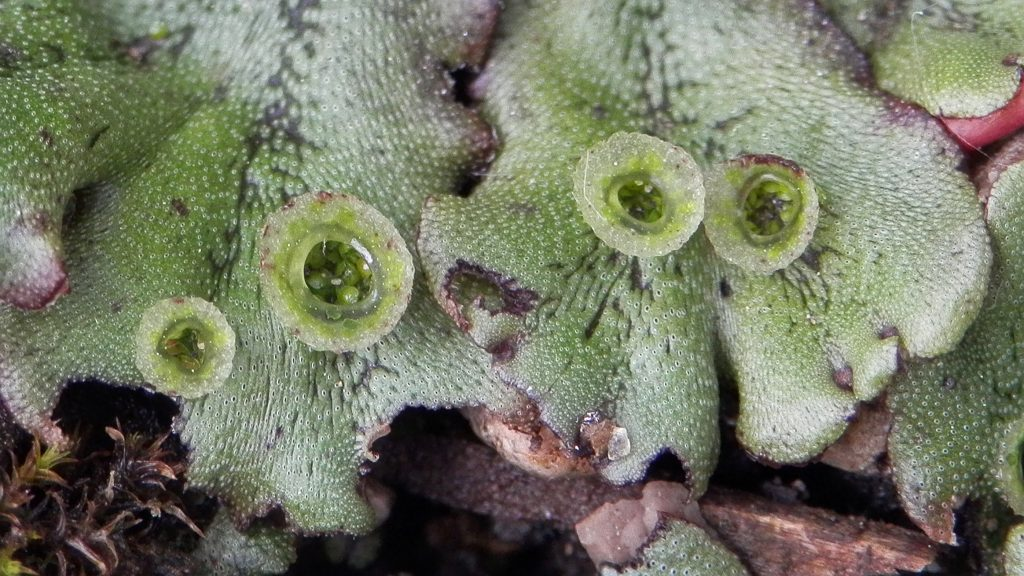 a close up of the liverwort leaves showing the 'splash cups' used for reproduction