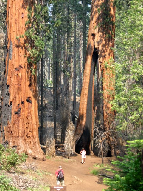 the closepin tree has two separated trunks. this picture shows a woman standing underneath a tree that is over 5 stories tall.