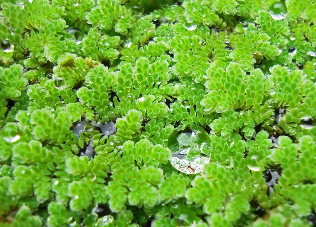 a close up of the small floating fern, Azolla, with water droplets on the surface