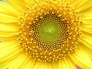 A closeup of a sunflower's center whorl, displaying the florets arranged in a natural Fibonacci sequence