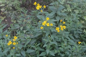 A plant of Jerusalem artichoke, there are many dark green leaves with a rough, hairy texture, and groups of the small yellow flowers