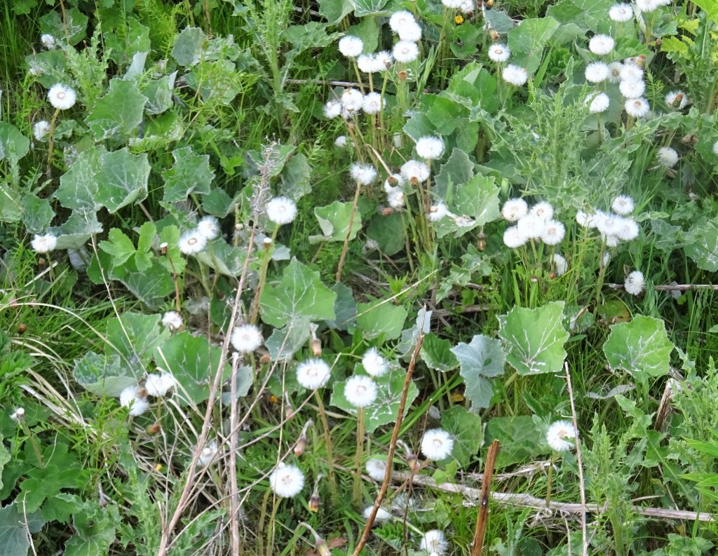 A group of white, fluffy coltsfoot flowers that grow with leaves and other plants surrounding it