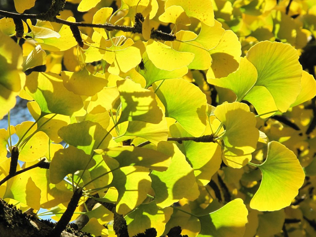 Leaves and branches of ginkgo with yellow leaves in the parc de l'Aulnay of Vaires-sur-Marne, France