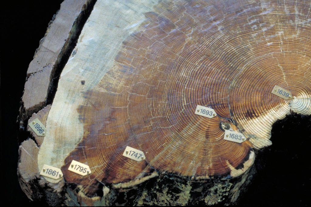 The cross section of a pinus ponderosa trunk with rings labeled from the center out: 1639, 1683, 1693, 1747, 1795, 1861, 1996