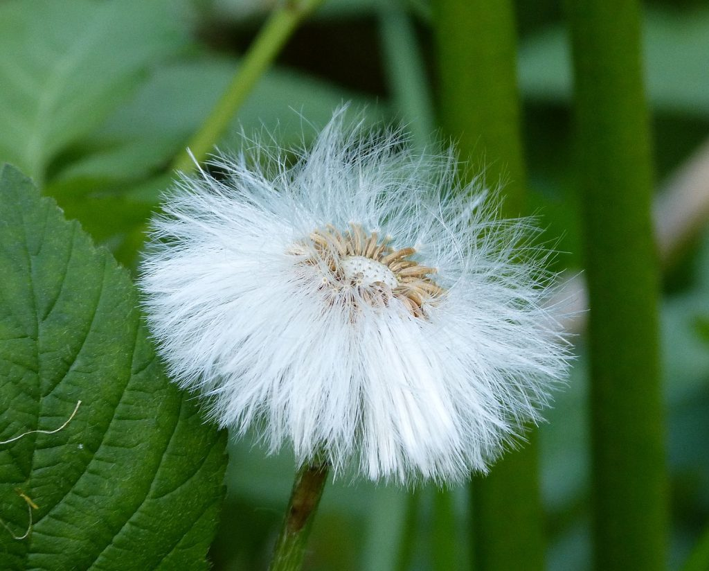 A closeup of one mature coltsfoot, the seeds have fluffy white edges that blow in the winds