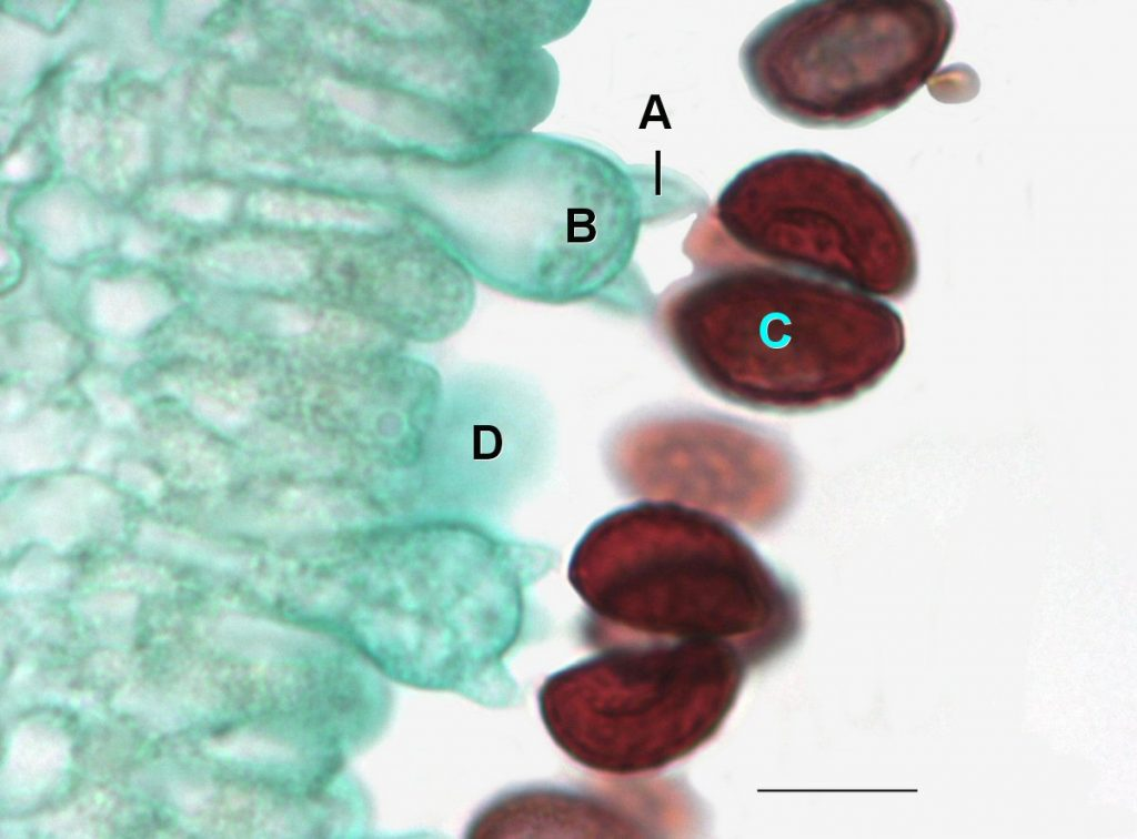 Coprinus cells