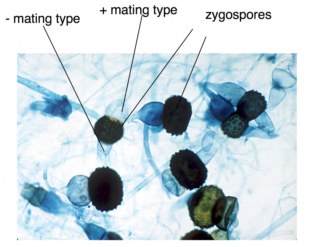 """Light micrograph of a whole-mount slide of zygospores of Rhizopus, with the """"- mating type,"""" """"+ mating type"""", and """"zygospores"""" labelled"""