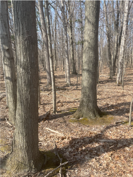 Several tree trunks of medium-sized trees, dead leaves on the ground.