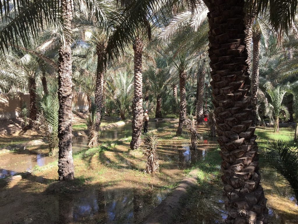 A group of date palm trees that grow in lines with water sitting on the ground. The bark of the trees is rough and grows in sections.