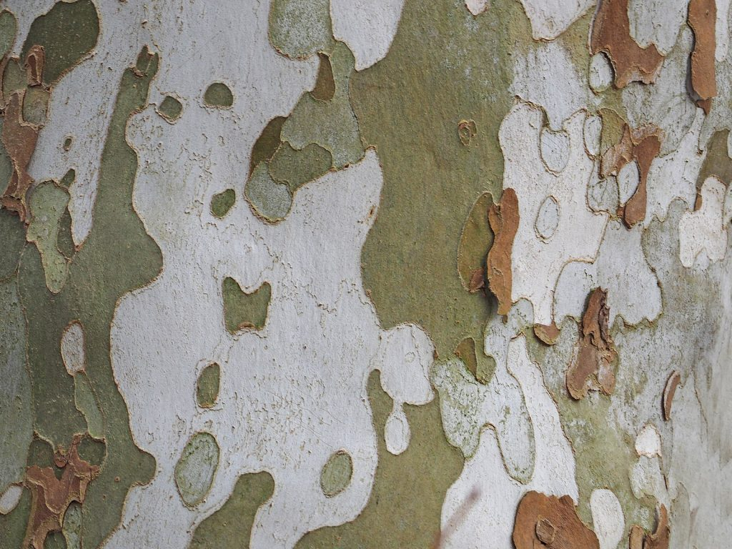 plated bark of a sycamore