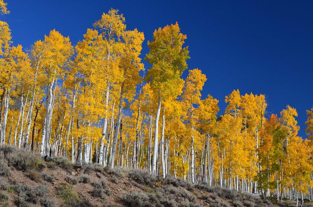 a grove of aspens in fall