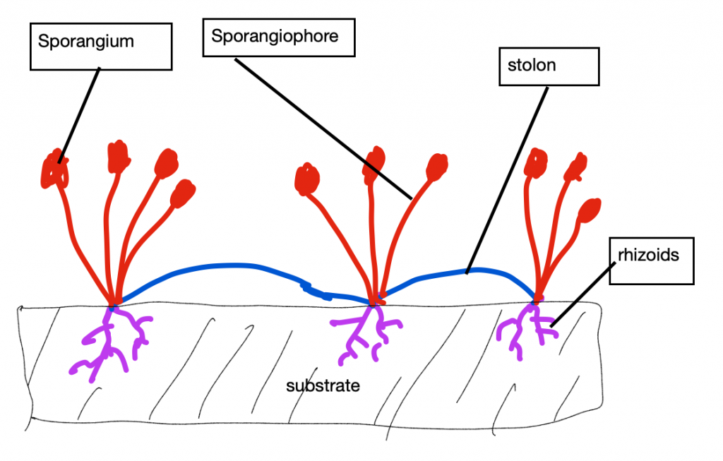 Diagrams of bread molds, showing rhizoids, stolons, and sporangiophores