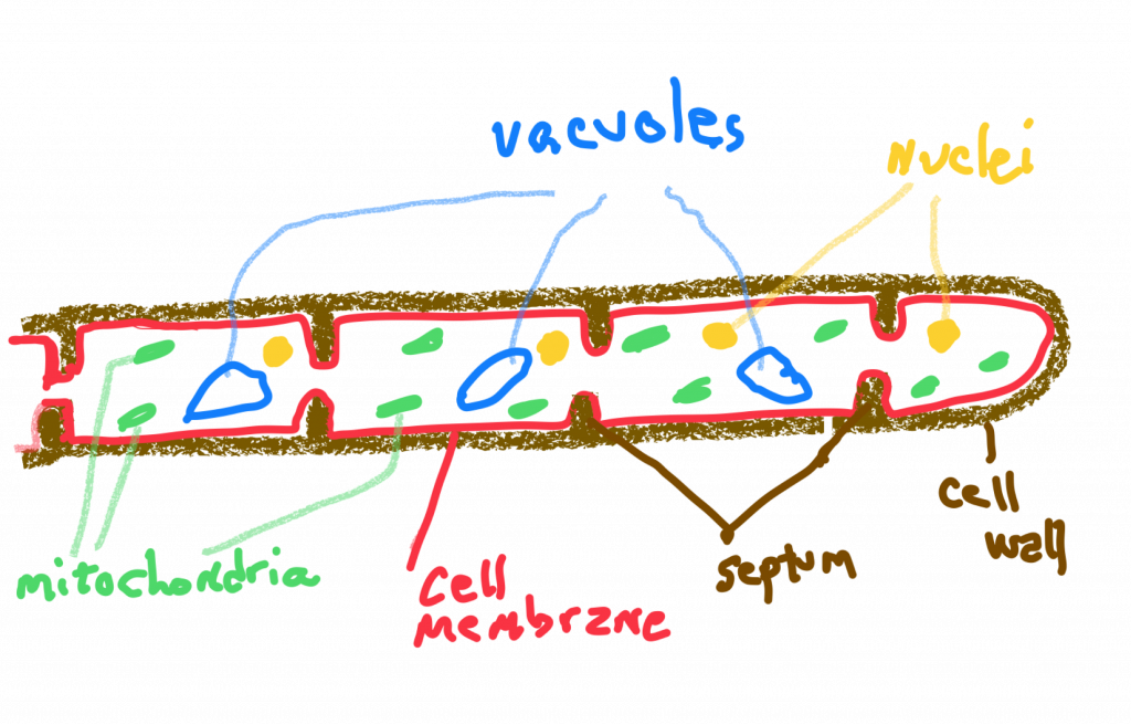 A diagram of a cross section of septate fungai hyphae. The cell wall around the edge is labeled, then the cell membrane, as well as the septum. Inside the cell are mitochondria, vacuoles, and nuclei.