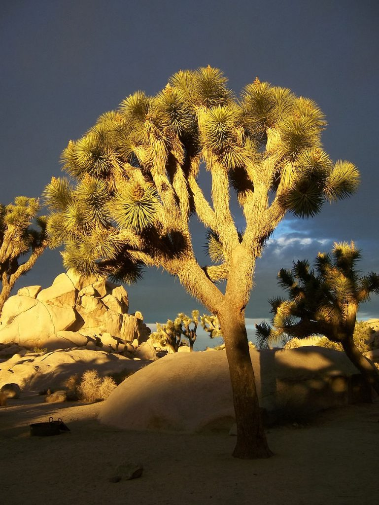 The Joshua tree has fuzzy bark and the leaves are arranged in clumps, they are pointy and thin like an evergreen