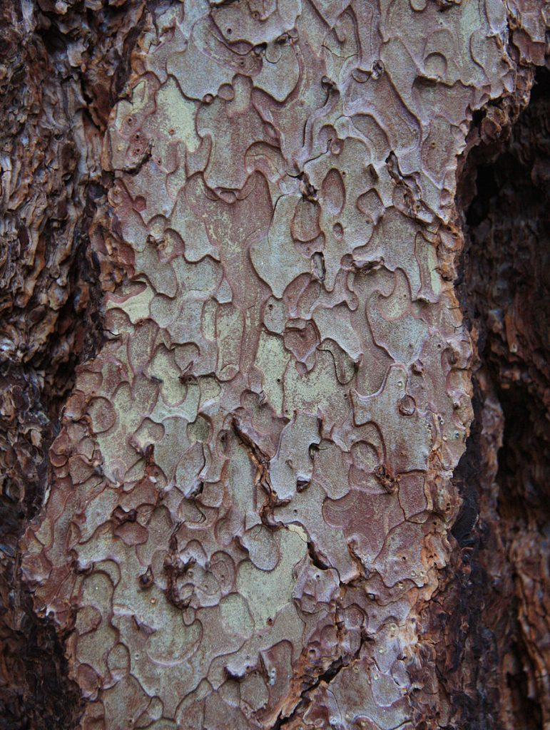 The brown and light green bark of the jeffery pine, the bark looks like different oddly-shaped puzzle pieces