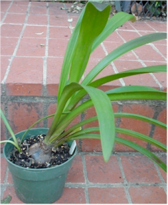 Potted Amaryllis on a brick step. It's bulb is visible above the dirt and several leaves grow from it.