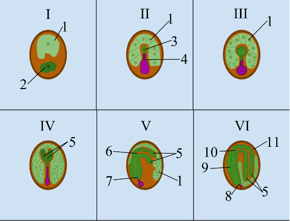 A diagram of six stages of development of a seed, from zygote stage to mature embryo