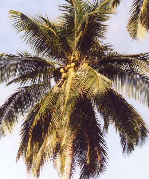 A palm tree with big, flowing leaves of dark green and several coconuts growing in a bunch