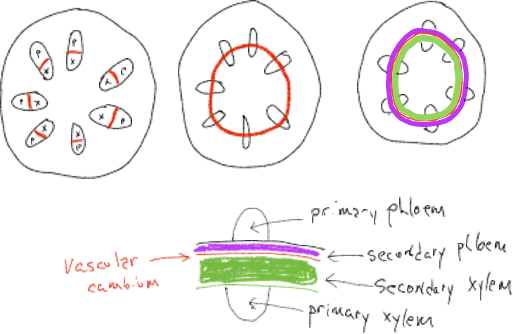 Drawings of different stages of vascular cambium development in stems