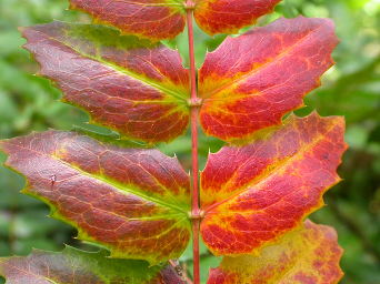 A leaf in the procces of dying, turning red and yellow