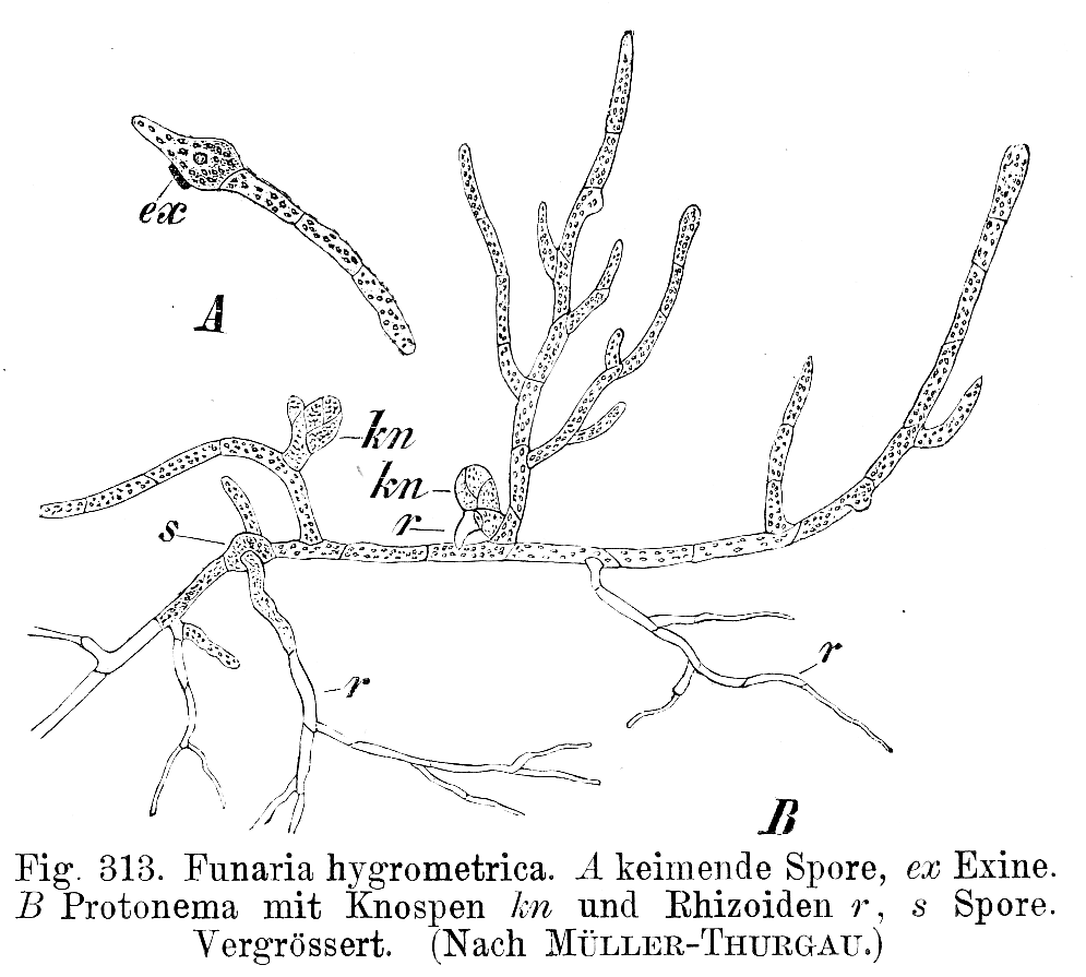 Funaria hygrometrica spore branching out like the branches off a stick of a tree